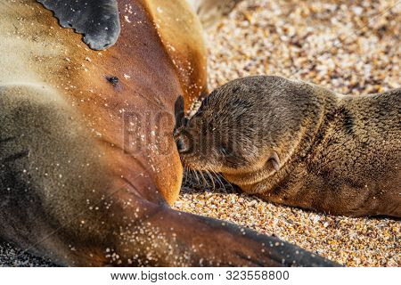 poster of Galapagos islands wildlife sea lion pup breastfeeding closeup of female sea lion mom with baby on Ga