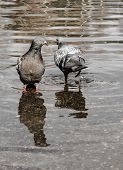 Urban Lonely Pigeons Walks Along Springy Muddy Puddle, In Which Its Reflection And The Reflection Of poster
