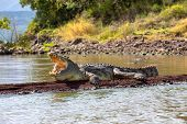 Majestic Nile Crocodile With Opened Mouth. Crocodylus Niloticus, Largest Crocodile In Africa, Chamo  poster