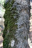 Trunk with green-white moss