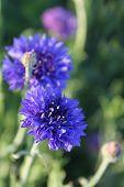 Cornflower or Bachelor's Button wildflower field