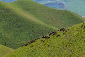 Herd Of Sheep At A Pasture In Alamedin Valley, Kyrgyzstan poster