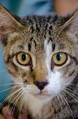 Close-up portrait of cute Thai cat., cat picture, Beautiful cat eyes poster
