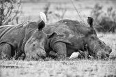 Two Rhinos Lay Down To Rest In Black And White Artistic Conversion poster