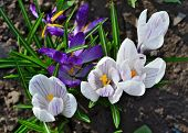 Blossoming White And Blue Crocuses