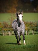 Welsh Pony Running