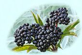Bunch  Of A Black Elderberry On A Blured Background From Plants