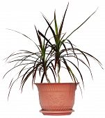 Houseplant dracaena palm in brown flowerpot