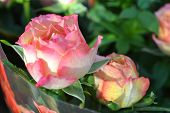 Wet Pink Rose Summer Pastel Pink Rose Flower. Beautiful Bouquet Close Up Of A Rose In Shop. Rose In  poster