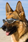 stock photo of barchan  - Head of the German shepherd with solar glasses - JPG