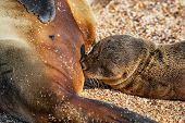Galapagos islands wildlife sea lion pup breastfeeding closeup of female sea lion mom with baby on Ga poster