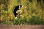 The Dog Plays The Disc. Border Collie For Sports, Catch A Toy Outdoors poster