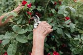Gardening Concept - Gardener In Sunny Garden Planting Red Roses. Senior Woman 80 Years Old Working I poster