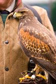 Harris Hawk On Gauntlet