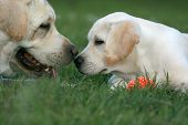 Two Labradors Playing With An Orange Ball