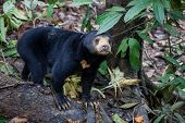 Sun Bear, Helarctos Malayanus, The Smallest Bear In The World, The Sun Bear Native To The Rainforest poster