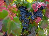 Berries And Leaves Of Grape-vine. Beautiful Bunch Of Ripe Red Wine Grapes On A Vine On Red And Green poster