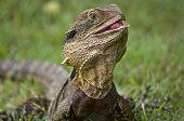The Australian Lizard, The Eastern Water Dragon.