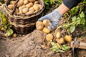Close Up Of Hands Of Elderly Woman Picks Potatoes Yellow Potatoes In Vegetable Garden Close Up. Pota poster