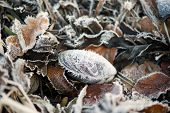 Shell With Frost