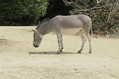 pic of horses ass  - a African Wild Ass in sunny ambiance - JPG