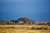 picture of kilimanjaro  - Savanna landscape - JPG