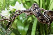 stock photo of green snake  - Royal Python snake rested on a wooden branch - JPG