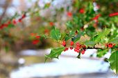 Common Holly Berries