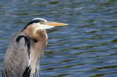 Great Blue Heron Looking for Fish