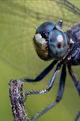Head Of Wild Blue Dragonfly
