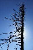Silhouette of the dead tree