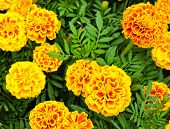 stock photo of marigold  - French Marigold Flower Or Tagetes Patula Blossom - JPG