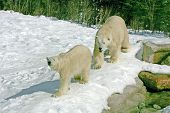 pic of mating bears  - taken at cochrane polar bear facility - JPG