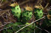 stock photo of nopal  - Prickly pair on Opuntia cactus on the rock  - JPG