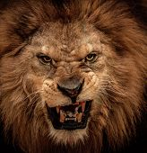 Foto de close-up de roaring lion