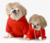 cute dogs wearing exercise clothing isolated on white background - english and french bulldogs