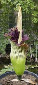 picture of arum  - Amorphophallus titanum known as the titan arum or corpse flower is a flowering plant with the largest unbranched inflorescence in the world - JPG