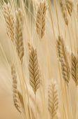 Einkorn Wheat, Triticum Monococcum