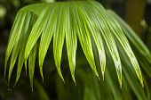 picture of monocots  - Jipijapa palm  - JPG