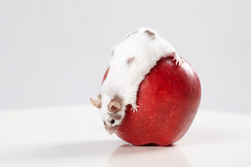 stock photo of gerbil  - little funny mouse on big red apple - JPG