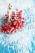 Red berries of viburnum with ice crystals, on blue background