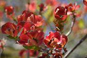 Medley Of Dogwood Blossoms