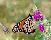 Monarch butterfly on butterfly bush flowers