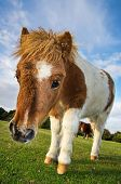 Brown And White Shetland Pony
