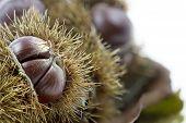 Ripe chestnuts, closeup