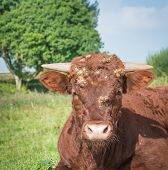 Portrait Of A Hairy Red Cow With Horns