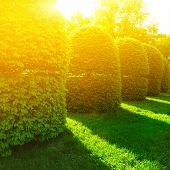 Green Bushes In Sun Light