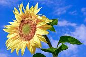 Young,ripe Sunflower On The Background Of  Blue Sky.
