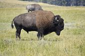 Bison standing watch