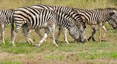 Burchell's Zebra, Kruger National Park, South Africa